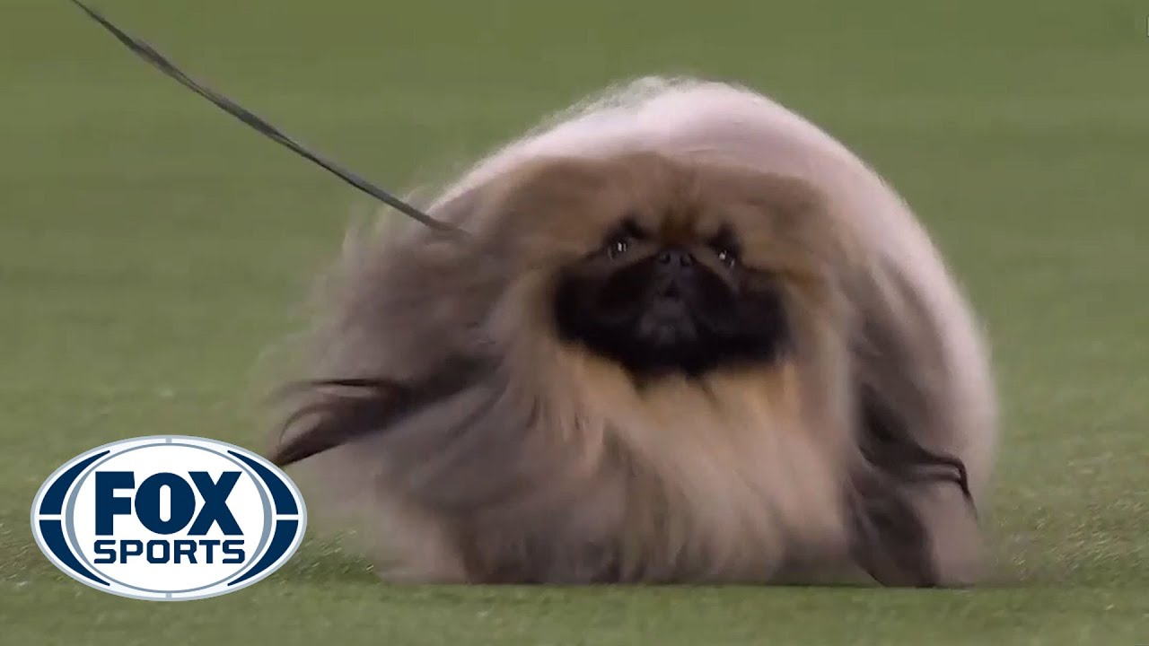 Wasabi, the Pekingese, wins first place in the Toy group   FOX SPORTS