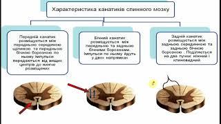 Анатомія спинного  мозку