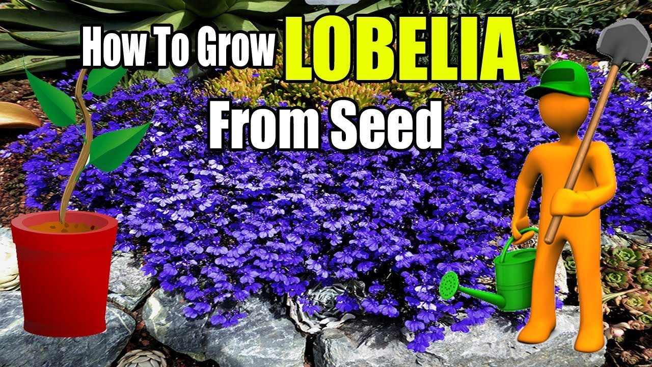 How To Grow Lobelia From Seed Gardening Story Youtube