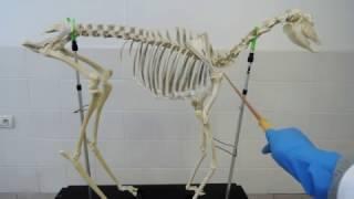 Видеозанятие 1 «Введение в анатомию животных»