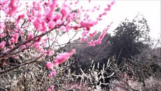 梅苑も見てきました。 花の見頃は過ぎてましたが、まだ咲いていました。...