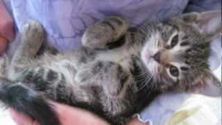 Orphaned Kitten Care: How to Videos - How to Wean Orphaned Kittens onto Solid Foods