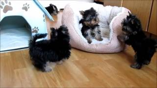 Йоркширский терьер мини   активные щенки