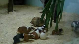 台北市立動物園天竺鼠 兔子大戰綠葉