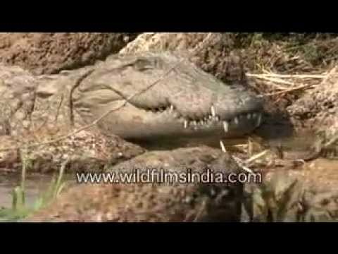 Croc in the Chambal