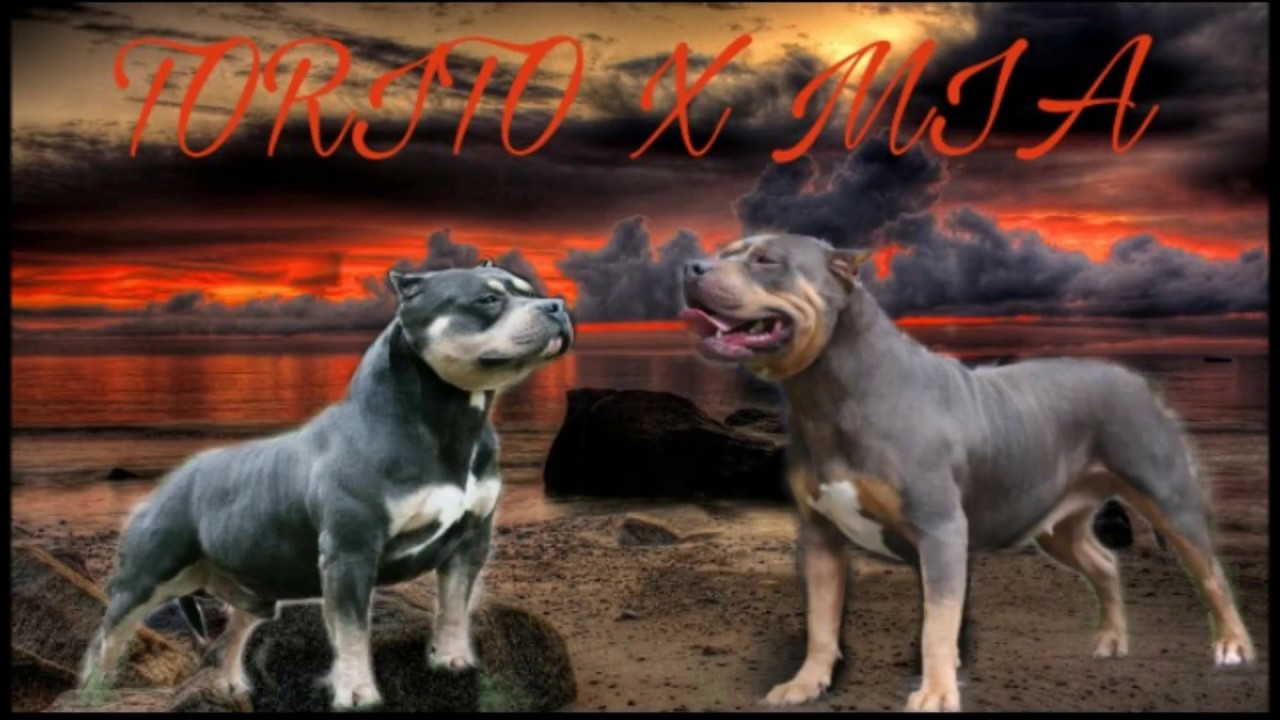 Notorious ABKC American Bully 2017 2018
