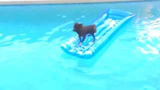 Swimming Pom Chocolate pomeranian in the POOL!!