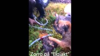 "Border Terrier: Ottercap Miracle Drug ""zorro"""