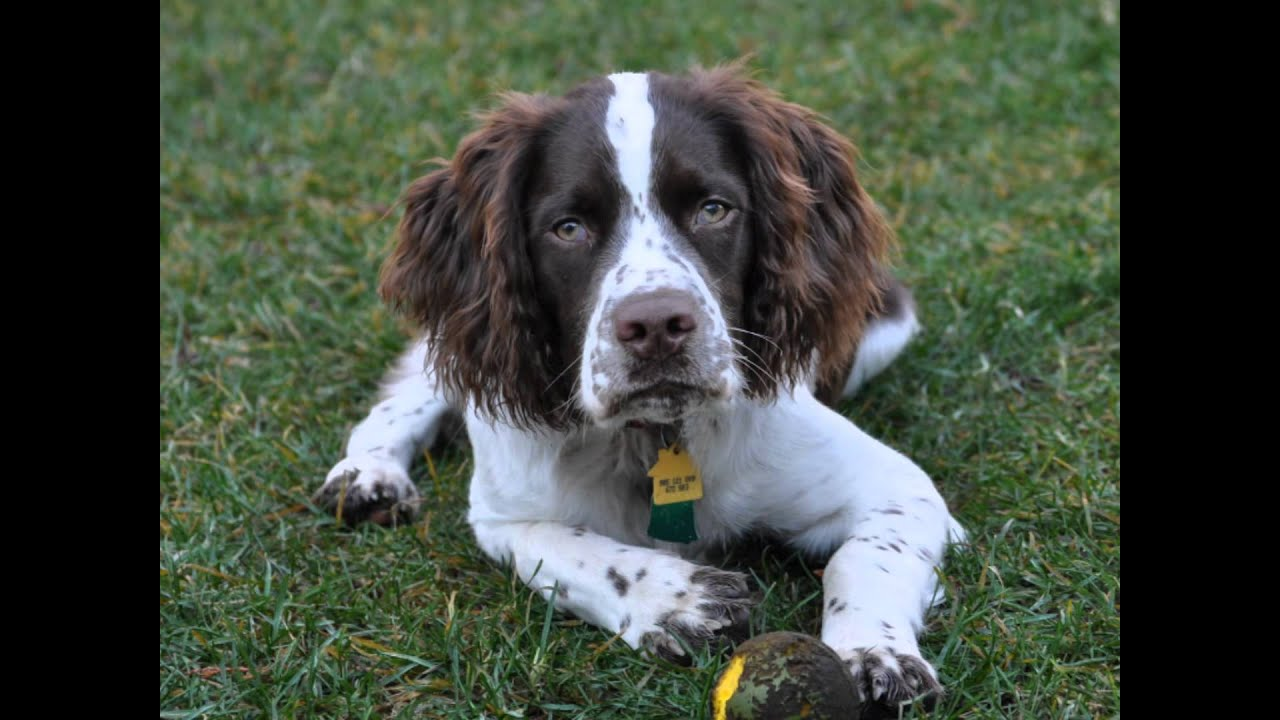 Our First 6 Months With Bene Our English Springer Spanielfe Is