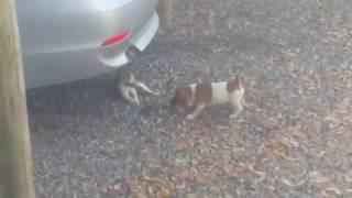 Котёнок против щенка за кусок мяса
