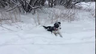 Puppy Border Collie falling in the Snow!