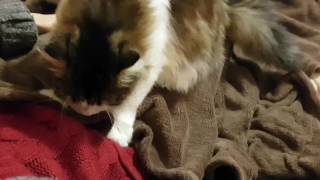 Котик топчет лапками