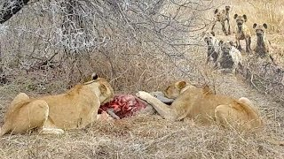 Lions Eat Warthog Alive Before Hyenas Try To Take Over