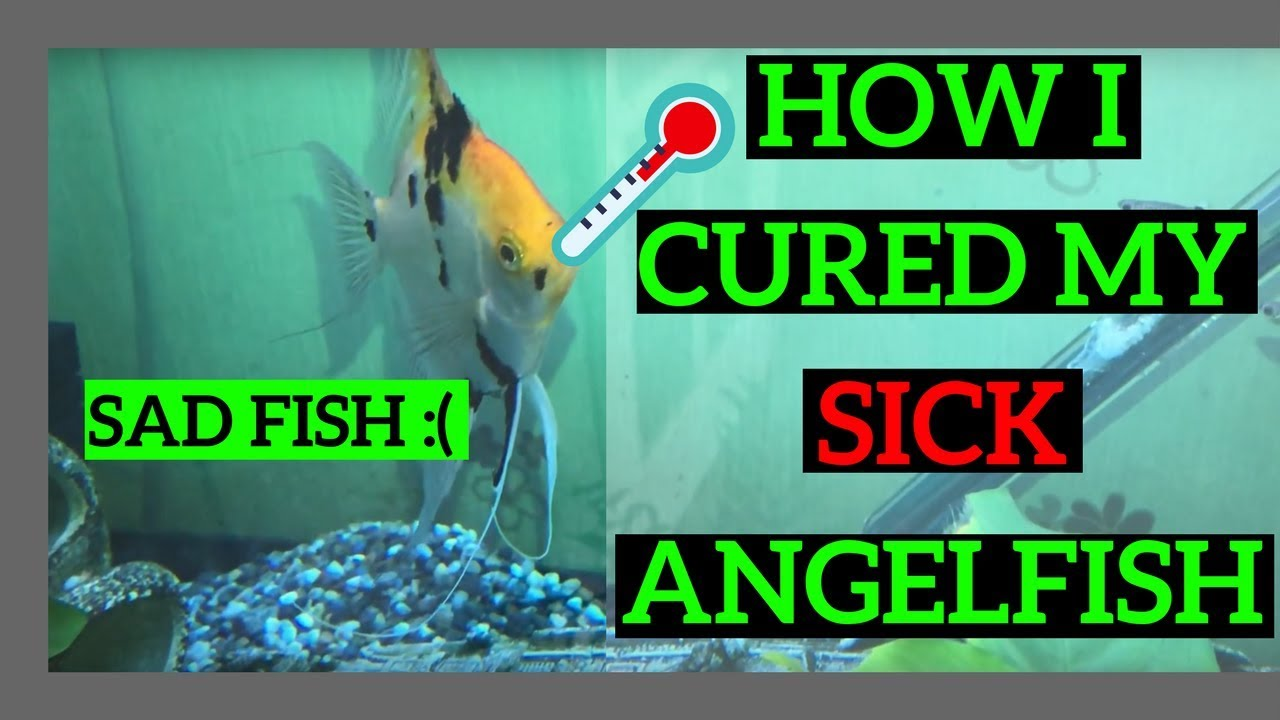 HOW TO CURE A SICK ANGELFISH Curing Mouth Rot |mouth fungus|