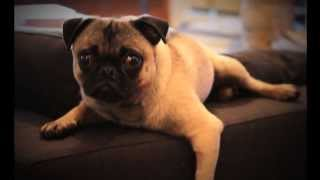 Looking For A New Home For Frank The Pug