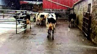 Irlandzkie krowy odporne na wszystko ,a ile mleka daja ha ha.mp4