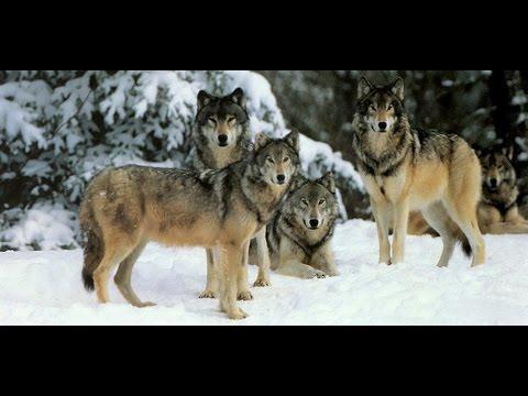 Wolf Hunting In Kazakhstan