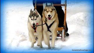 Sled Pulling Huskies! Behind The Scenes Of Jingle Bells!