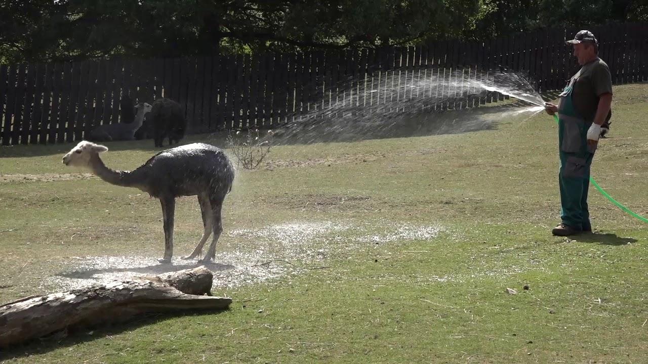 5d033658a Horúčavy si vyžiadali špeciálnu starostlivosť o zvieratá v ZOO. KOŠICE DNES