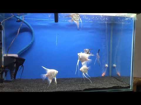 My Angelfish Tank