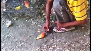 LOVEBIRD RED SUFFUSION JINAK-JINAK MERPATI (ACONG FARM)