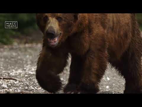 «Медведи Камчатки  Начало жизни»  | Новости сегодня | Происшествия | Масс Медиа