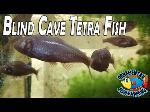 Blind Cave Tetra Fish- New Fish - They Don't Have Eyes