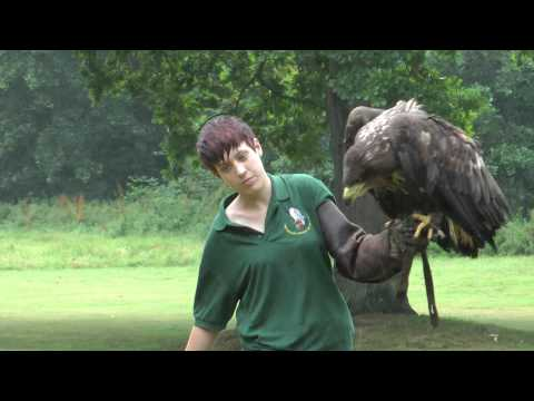 White-Tailed Eagle, Bird Of Prey Centre, Old Warden Bedfordshire August 2011