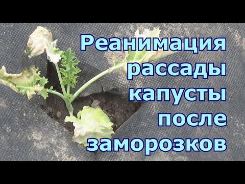 Как капуста переносит заморозки