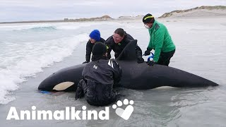 Stranded killer whale returned to sea | Animalkind