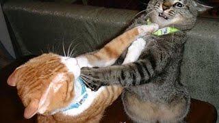 طرائف الحيوانات : اقوى الخناقات بين القطط