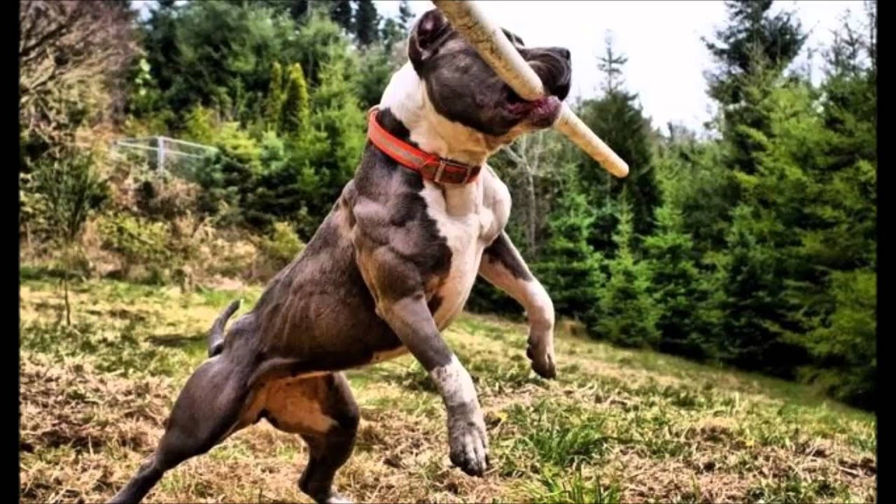maxresdefault Pitbull Dog Games