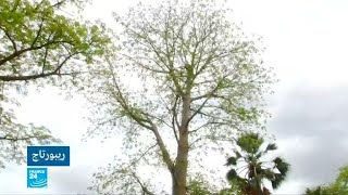 ثمار شجر الباوباب في السنغال.. تجارة مزدهرة محليا وعالميا