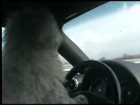 "Look 'Koton' The Dog ""Pilote en Audi TT"""