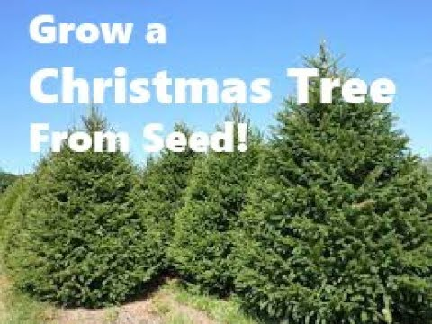 how to grow your own christmas tree from seed growing norway spruce from seed