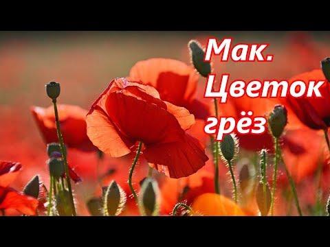 Мак. Цветок грёз