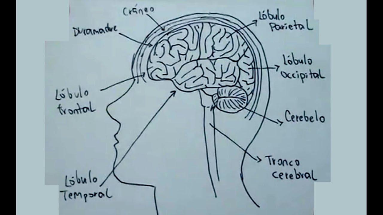 Dibujos del cuerpo humano 3/9 - Cómo dibujar el cerebro humano ...