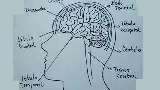 Dibujos del cuerpo humano 3/9 - Cómo dibujar el cerebro humano - Anatomía