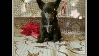Китайская хохлатая ( щенок 1.5 месяца)