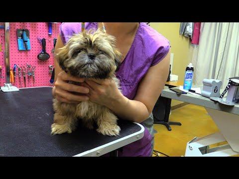 Dog Puppy Shih Tzu Live Groom