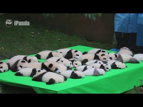 Adorable panda cubs make public debut in China