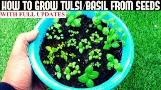 How To Grow Tulsi/Holy Basil From Seeds (With Updates)