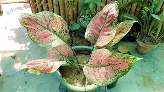 Chinese Evergreen (Aglaoneama) Repoting A Complete Care Guide