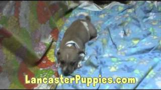 Pug Terrier Mix Puppies For Sale