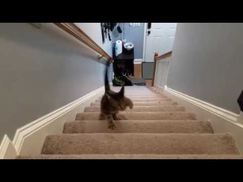 Dobby, our Cat with CH, Hopping up the Stairs