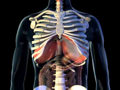 diaphragm - 3d medical animation || abp © - youtube, Muscles