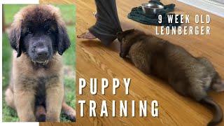 9 Week Old Leonberger Puppy Training
