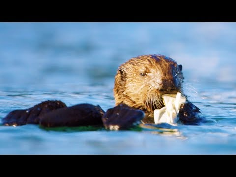 Sea Otters Playing with Plastic | First Year on Earth | BBC Earth