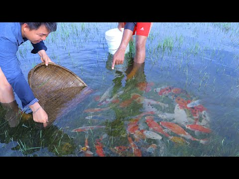 Top Amazing Video 2020 Fishing Catch Up Big Group Koi & Gold Fish In Lake Lucky Find A Lot Of Fish.