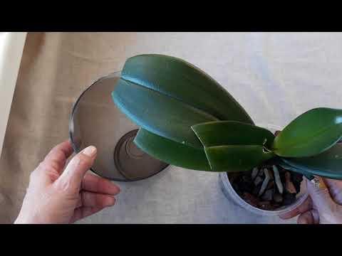 Как восстановить тургор орхидеи без подвязок и подпорок.